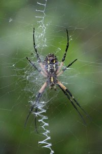 Garden Spider Removal from lawn